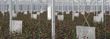 Research on roses at Porta Nova, customer of OCAP, Benelux